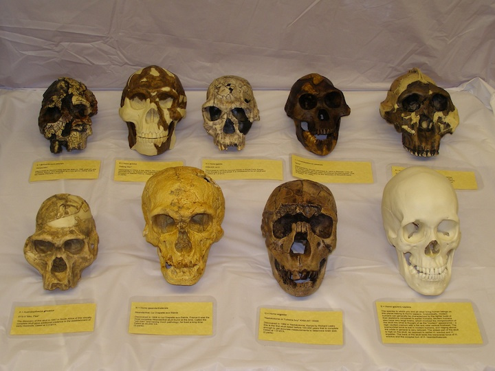 Hominid Skulls (ONLY TRAINED TEACHERS CAN RESERVE THIS KIT)