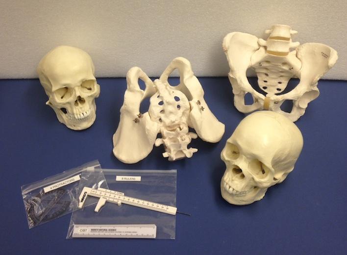 Forensics Anthropology Kit Cornell Institute For Biology
